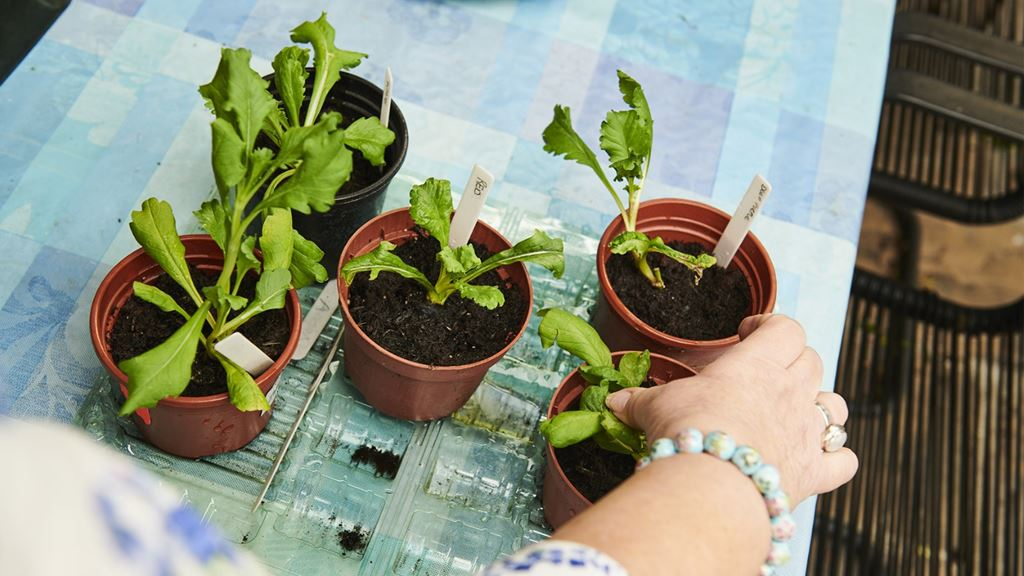 A hand with a ring and bracelet reaches towards five seedling pots on a table. Resident